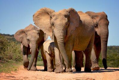 Naklejka Słonie walking w parku narodowego Addo Elephant, RPA