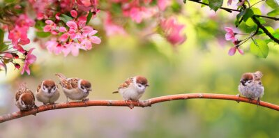 Naklejka small funny Sparrow Chicks sit in the garden surrounded by pink Apple blossoms on a Sunny may day