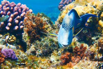 Naklejka Sohal w Morzu Czerwonym