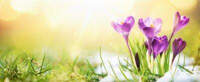 Naklejka  Springtime. Spring Flowers in Sunlight. Outdoor Nature