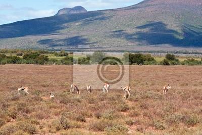 Stada Springbok na równinie w Karoo, Republika Południowej Afryki