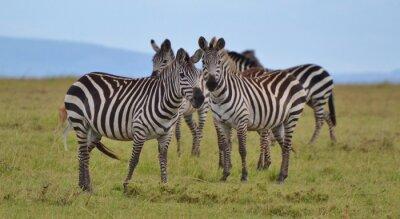 Naklejka Stada Zebra