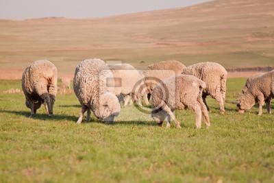 Naklejka Stado owiec żywienia