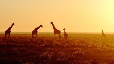Naklejka Stado żyraf na wschód słońca