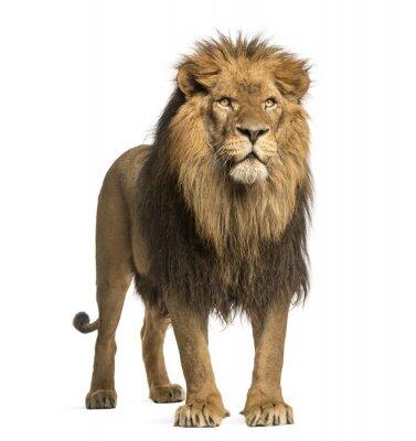 Naklejka Stojący lew, Panthera Leo, 10 lat, samodzielnie na białym tle