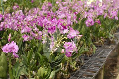 Storczyków Doniczki Na Sprzedaż W Gospodarstwie Orchidea Tajlandii Naklejki Redro