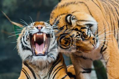 Naklejka Sumatran Tigers