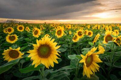 Naklejka Sunflower field at beautiful summer sunset sky. Agricultural landscape