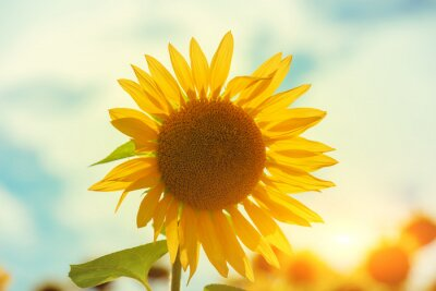 Sunflower on the field against sky. Rural summer landscape with sunflowers. Nature background