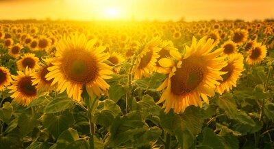 Sunny słoneczniki