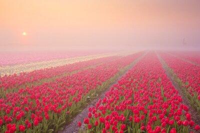 Naklejka Sunrise i mgły nad rzędami kwitnące tulipany w Holandii