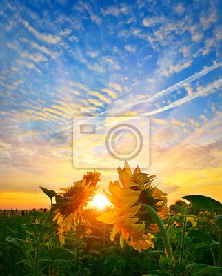 Sunrise słoneczniki
