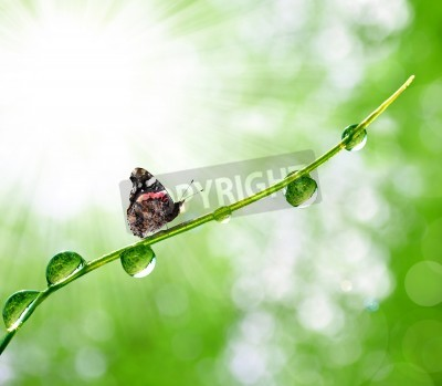Naklejka świeża poranna rosa i motyl
