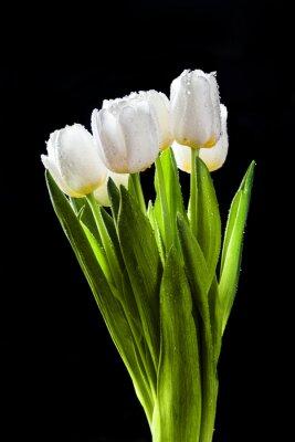 Naklejka Świeże białe tulipany na czarnym tle