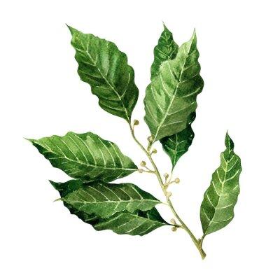 Naklejka Świeże liście laurowe oddział na białym tle