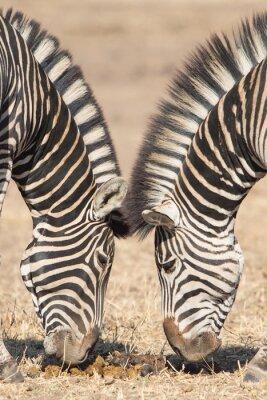 Naklejka Symetryczne zebry, Kruger Park, Republika Południowej Afryki