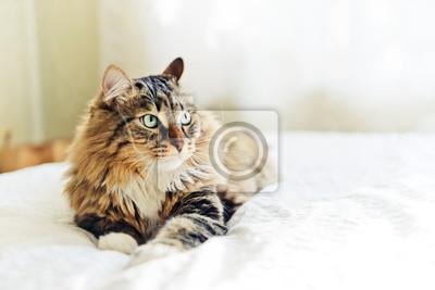 Naklejka Szary Kot Leży Na łóżku Na Wymiar Zwierzęcy ładny Szary