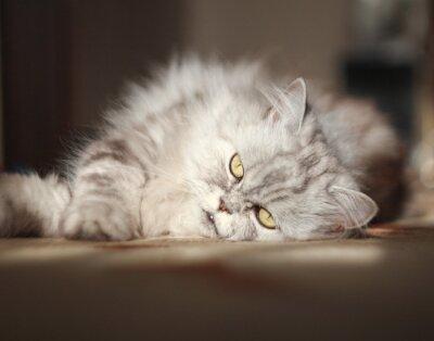 Naklejka szary kot perski na podłodze