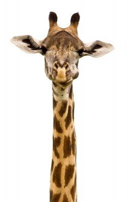 Naklejka Szef żyrafa samodzielnie