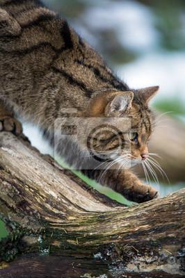 Szkocka Wildcat