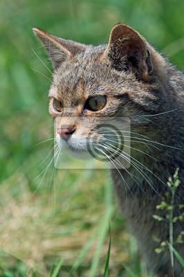 Naklejka Szkocki Żbik (Felis silvestris Grampia) / szkocki Wildcat grasuje w długiej zielonej trawie