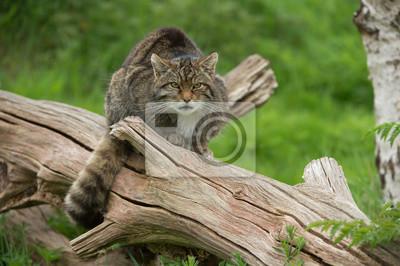 Szkocki Żbik (Felis silvestris Grampia) / szkocki Żbik na dużym pniu drzewa