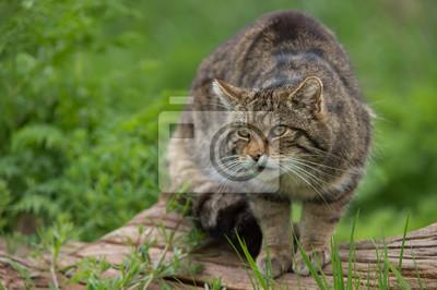 Naklejka Szkocki Żbik (Felis silvestris Grampia) / szkocki Żbik na dużym pniu drzewa