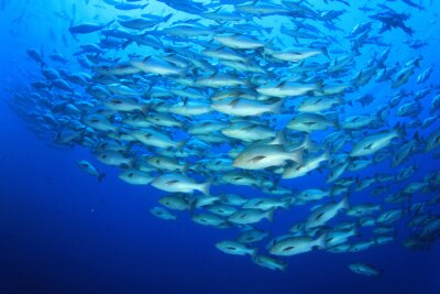 Naklejka Szkoła ryby Snapper