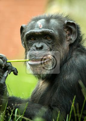 Naklejka Szympans