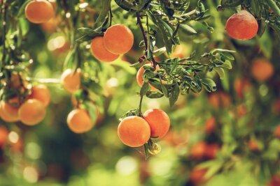 Naklejka Tangerine sunny garden