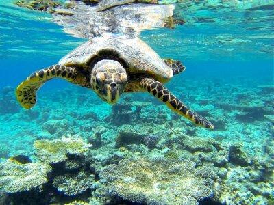 Naklejka tartaruga marina