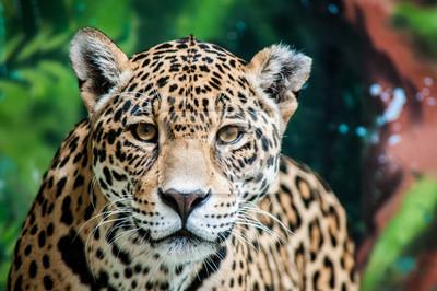 Naklejka Taunting Jaguara