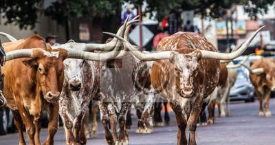 Naklejka Texas Longhorns at Fort Worth Stockyard Station