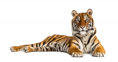 Naklejka Tiger lying down isolated on white