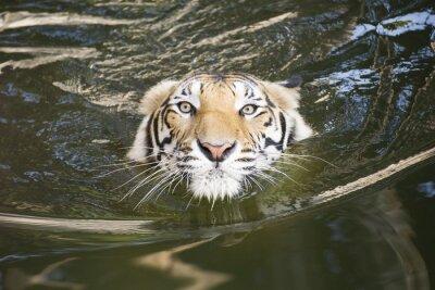 Naklejka Tiger pływanie