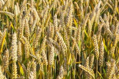 Naklejka tle dojrzałych polu kukurydzy w złotych kolorach