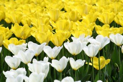 Naklejka tło tulipany