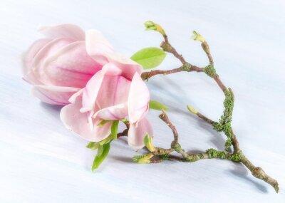 Naklejka Tło z kwiatów magnolii. Wiosna w tle.
