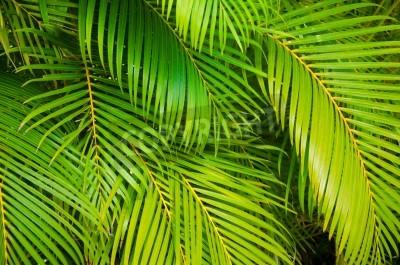Naklejka Tło z zielonych liści palmy
