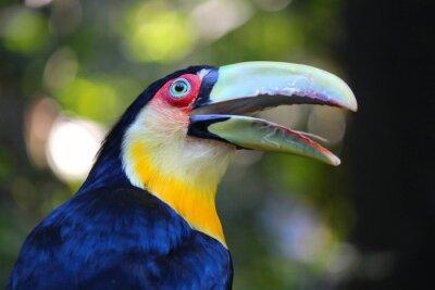 Naklejka Toucan in Brazil - Ramphastos dicolorus (Green-billed toucan)