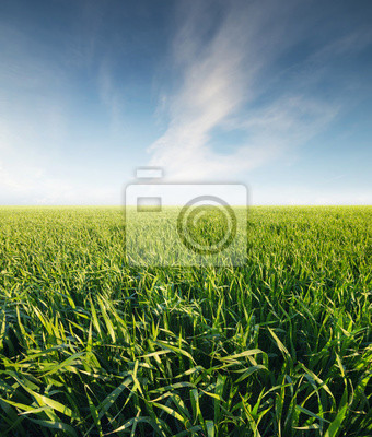Trawa na boisku. Krajobrazu rolniczego w okresie letnim ..
