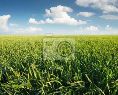 Trawa na polu po deszczu. Krajobrazu rolniczego w okresie letnim ..
