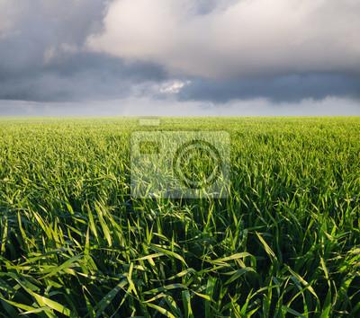 Trawy na polu po deszczu. Krajobrazu rolniczego w lecie ..
