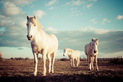 Naklejka trois chevaux blancs Camarguais rocznika