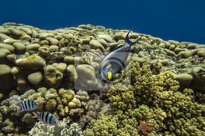 Naklejka Tropical fish Acanthurus sohal