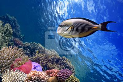 Naklejka Tropical fish Acanthurus sohal i Rafa koralowa