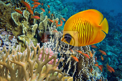 Naklejka Tropikalna ryba i twarde korale w Morzu Czerwonym w Egipcie