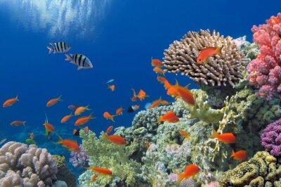 Naklejka Tropikalna ryba na rafie koralowej w Morzu Czerwonym