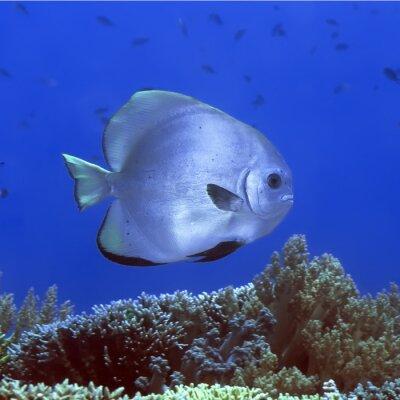 Naklejka Tropikalne ryby Batfish