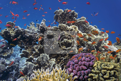 Naklejka Tropikalne ryby i korale twarde w Morzu Czerwonym